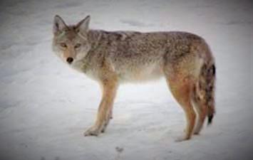 coyote (2).jpg